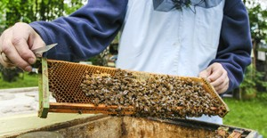 Beekeeper at work. Bees at hive in lush summer garden.